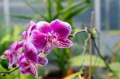 从亚洲的一朵可爱的红色兰花 库存图片