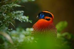 从亚洲的异乎寻常的鸟 Temminck ` s Tragopan, Tragopan temminckii,罕见的野鸡细节画象与黑,蓝色,橙色头, b的 免版税库存图片