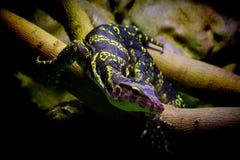 亚洲水监控器巨晰属salvator蜥蜴 免版税库存图片
