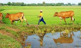 亚洲童工趋向母牛,越南米种植园 免版税库存照片