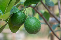 亚洲绿色柠檬 库存图片