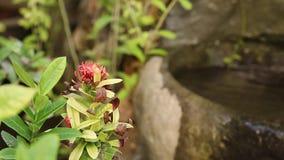 亚洲花和植物巴厘语的从事园艺, 50fps, 1080p 在背景的小瀑布 影视素材