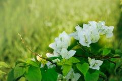 亚洲花,模糊草的背景,白色九重葛Glab 免版税图库摄影