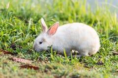 亚洲草兔子泰国白色 免版税库存图片