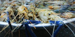 亚洲蓝色虾 免版税库存图片