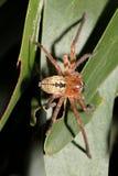 亚洲蜘蛛 免版税库存照片