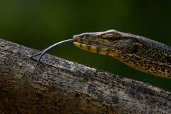 亚洲蜥蜴监控程序水 免版税库存图片