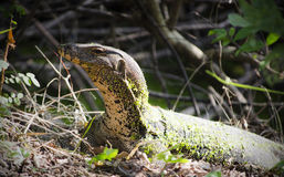 亚洲蜥蜴监控程序水 库存照片