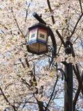 亚洲街灯和开花的樱桃树分支 免版税图库摄影