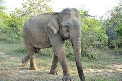 亚洲象属maximus 库存图片