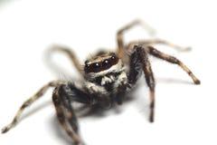 亚洲跳跃的蜘蛛 库存照片