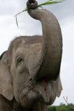 亚洲防御大象眼睛有题头其喜欢许多没有附注纵向相对范围种类 印度尼西亚 苏门答腊 方式Kambas国家公园 库存照片