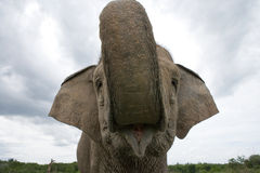 亚洲防御大象眼睛有题头其喜欢许多没有附注纵向相对范围种类 印度尼西亚 苏门答腊 方式Kambas国家公园 库存图片