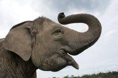 亚洲防御大象眼睛有题头其喜欢许多没有附注纵向相对范围种类 印度尼西亚 苏门答腊 方式Kambas国家公园 免版税图库摄影