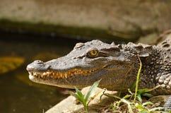 亚洲鳄鱼 免版税图库摄影