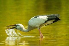 亚洲鸟openbill鹳 免版税库存照片
