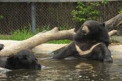 亚洲黑熊在水池放松。 库存图片