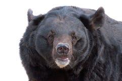 亚洲黑熊纵向 免版税库存照片