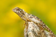 从亚洲, Calotes calotes,绿色庭院蜥蜴的蜥蜴,有美好的黄色背景 从亚洲自然的野生生物场面 夏天 免版税库存照片