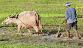 亚洲水牛域耕犁米水 免版税图库摄影