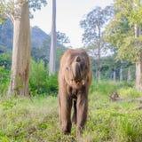 亚洲elephent在泰国 免版税库存照片