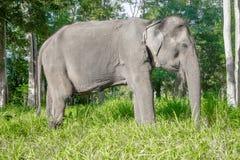 亚洲elephent在泰国 库存图片