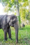 亚洲elephent在泰国 库存照片
