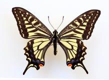 亚洲swallowtail 库存图片