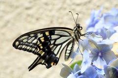 亚洲swallowtail 免版税库存照片