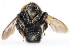 死亡土蜂 免版税库存图片