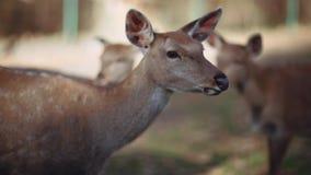 从死亡幼小小鹿鹿保存在保留区域 惊人的野生生物 股票视频