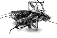 死亡蟑螂 图库摄影