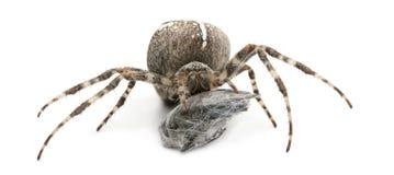 交叉王冠欧洲花园蜘蛛 库存照片