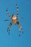 交叉蜘蛛 库存照片