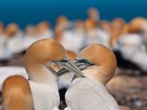 交往的gannets 库存照片