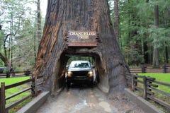 交换驾驶通过枝形吊灯树, Leggatt,加利福尼亚 免版税库存照片