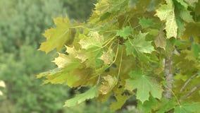 交通事故多发地段槭树 在槭树分支的被传染的叶子 股票录像