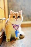 交通口哨逗人喜爱的猫 免版税库存照片