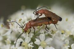 交配共同的红色战士的甲虫 免版税库存图片