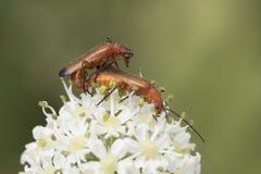 交配共同的红色战士的甲虫 库存照片