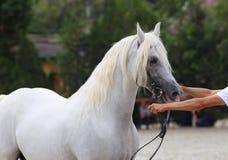 交配动物者举行与辔的一匹马在马展示 免版税库存照片