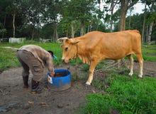 交配动物者和他的母牛 库存照片