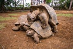 交配对巨型乌龟在La Vanille自然公园,毛里求斯 库存照片