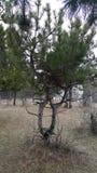 交错的树夫妇  免版税图库摄影