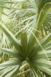 交错矮棕榈条的技巧叶子在南佛罗里达离开 图库摄影