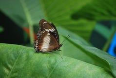 亦称一只棕色蝴蝶各种各样的Eggfly蝴蝶 库存照片