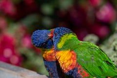 亦称两彩虹lorikeets Trichoglossus haematodus Mol 免版税库存照片