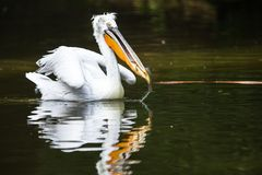 亦称伟大的白色鹈鹕东部白色鹈鹕 图库摄影