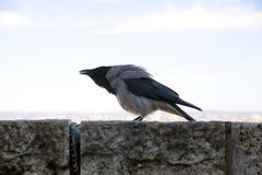 亦称关闭在布达佩斯匈牙利城堡的乌鸦座cornix乌鸦 库存图片