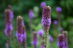 亦称关闭紫色多种花色鲜明之植物Gayfeather,鹿舌草spicata,开花在与更多的选择聚焦多年生植物 免版税库存图片